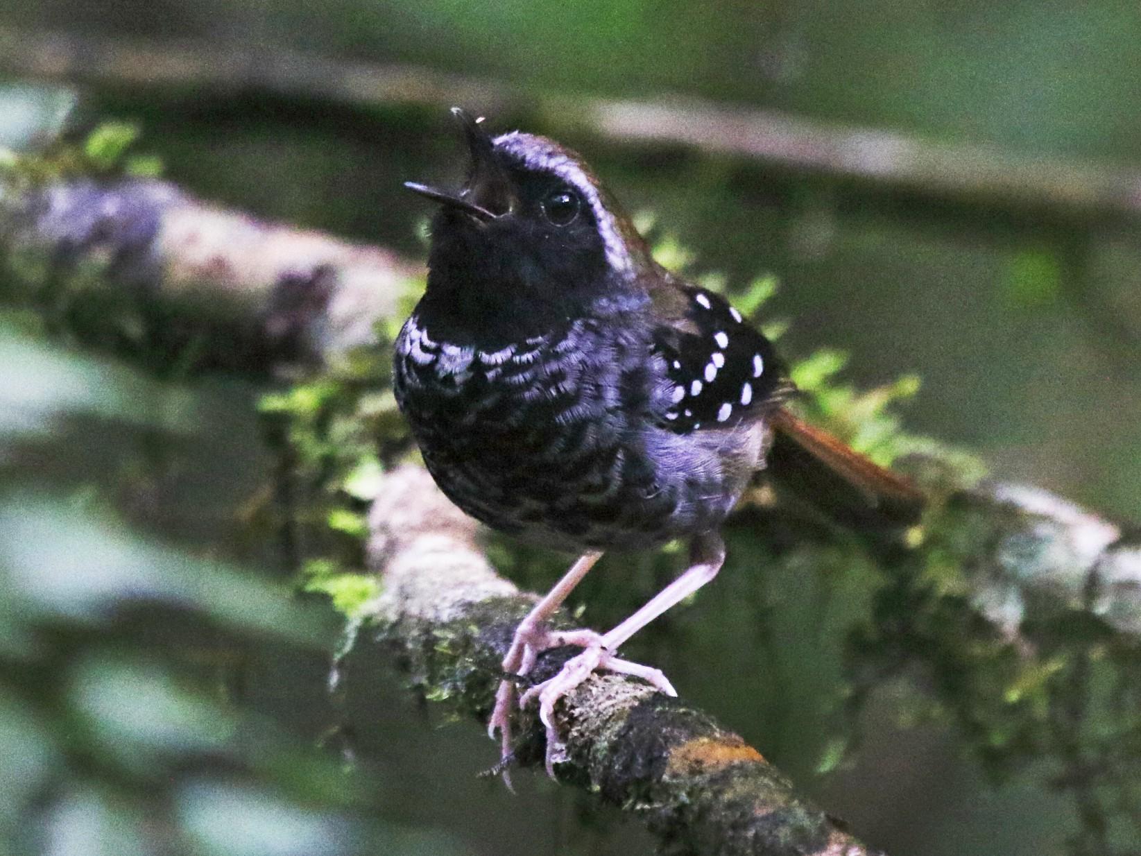 Squamate Antbird - Fabio Olmos