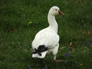 Ross's Goose, ML96283531