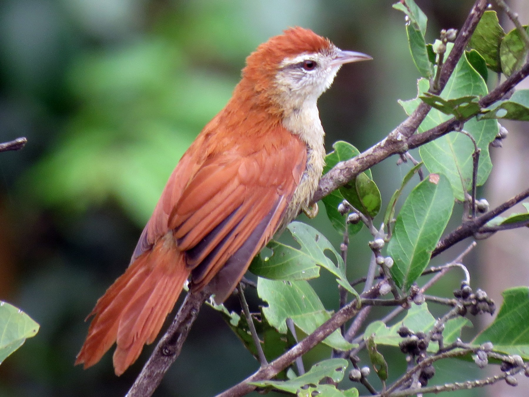 Rusty-backed Spinetail - Alex Mesquita