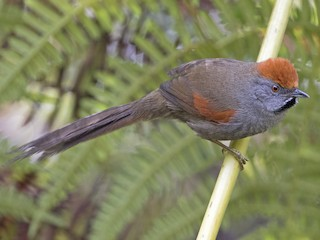 - Spix's Spinetail