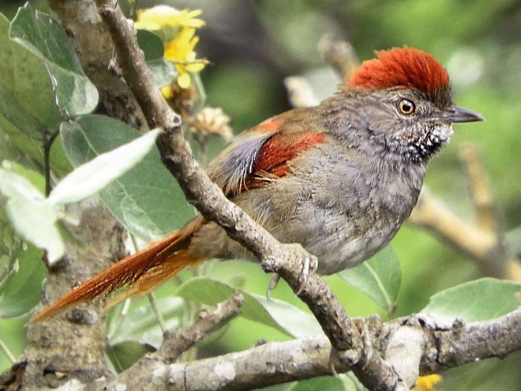Sooty-fronted Spinetail - Leandro Bareiro Guiñazú