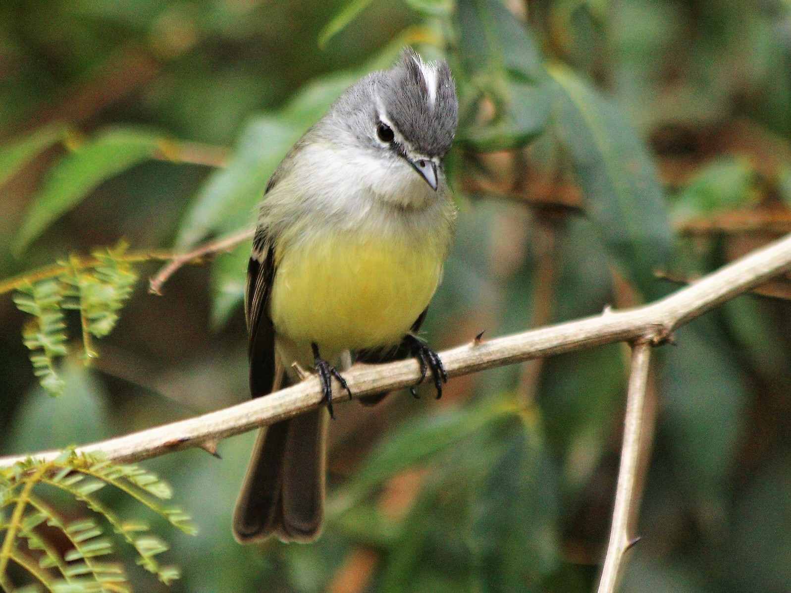 White-crested Tyrannulet - CLAUDIO JORGE FILHO