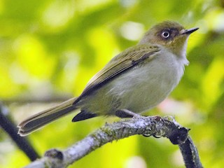 - Bay-ringed Tyrannulet