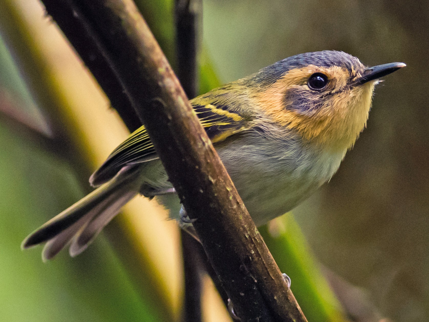 Ochre-faced Tody-Flycatcher - Claudia Brasileiro