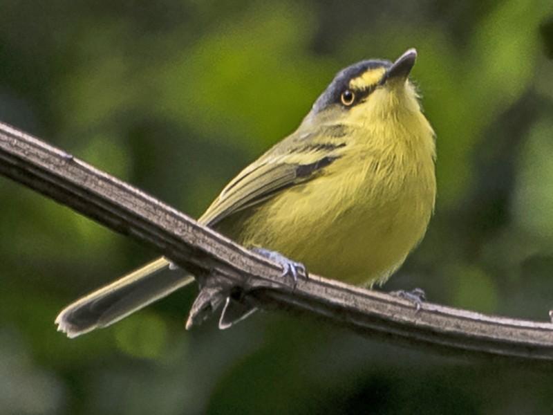 Gray-headed Tody-Flycatcher - Luiz Carlos Ramassotti