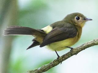 - Whiskered Flycatcher