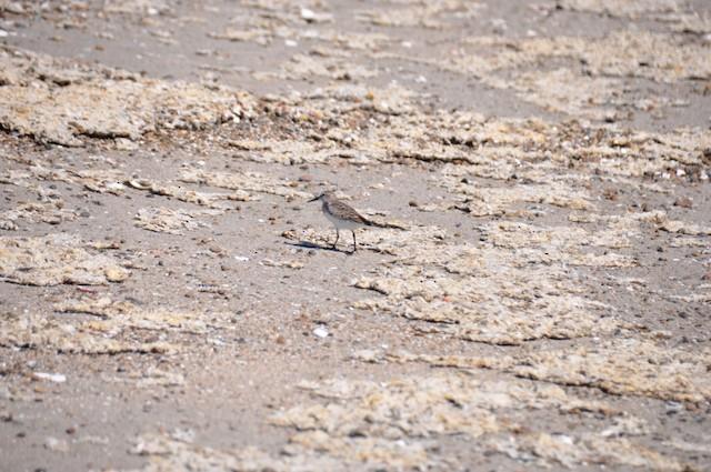 White-rumped Sandpiper