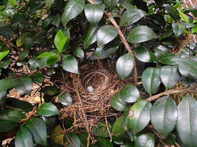Northern Cardinal nest in bush.