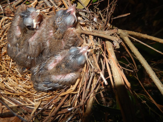 Northern Cardinal nestlings at about 7–8 days old, with wing feathers bursting from sheaths.
