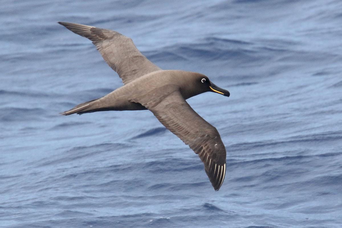 Sooty Albatross - Noah Strycker