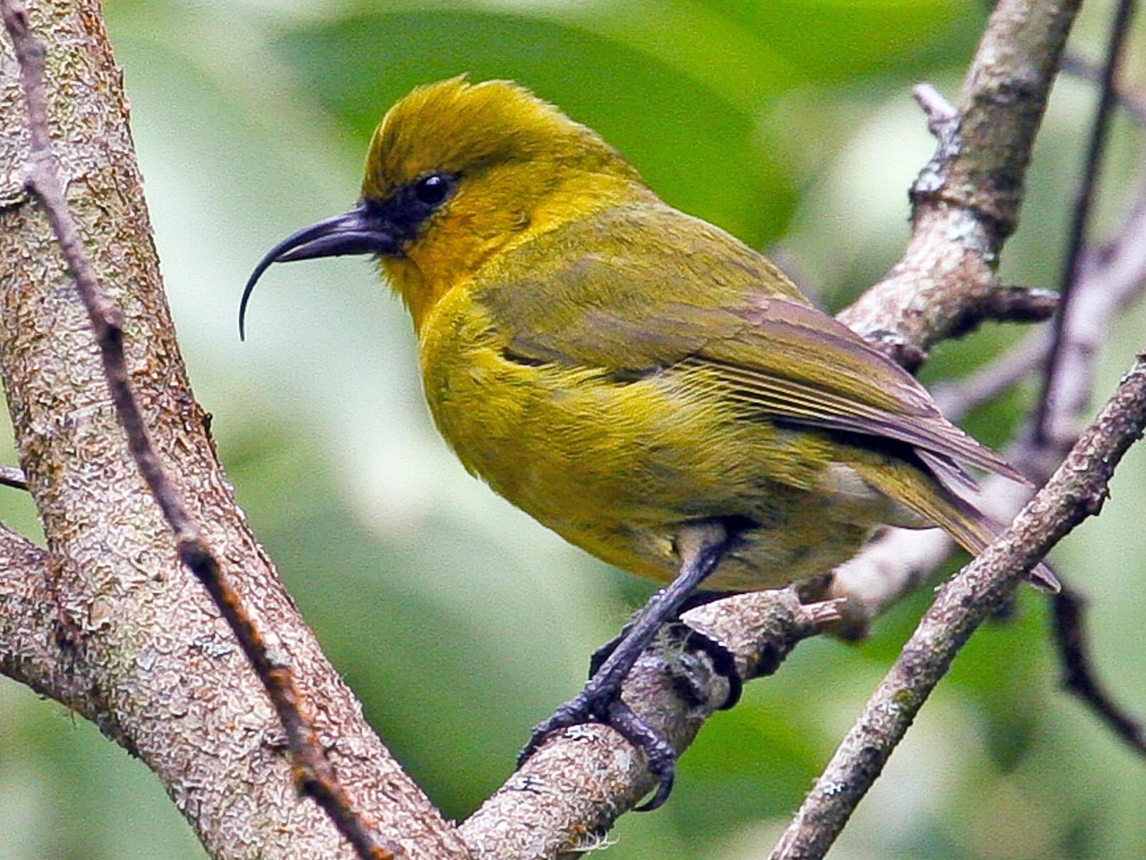 Akiapolaau - eBird