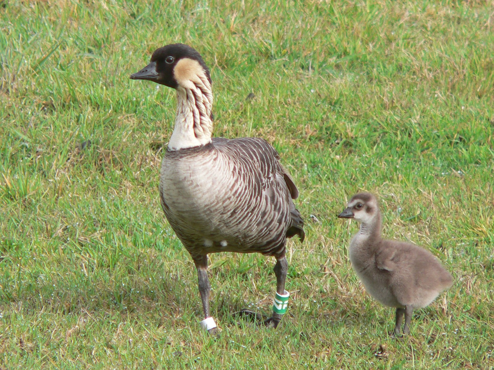Hawaiian Goose - Nicholas Sly