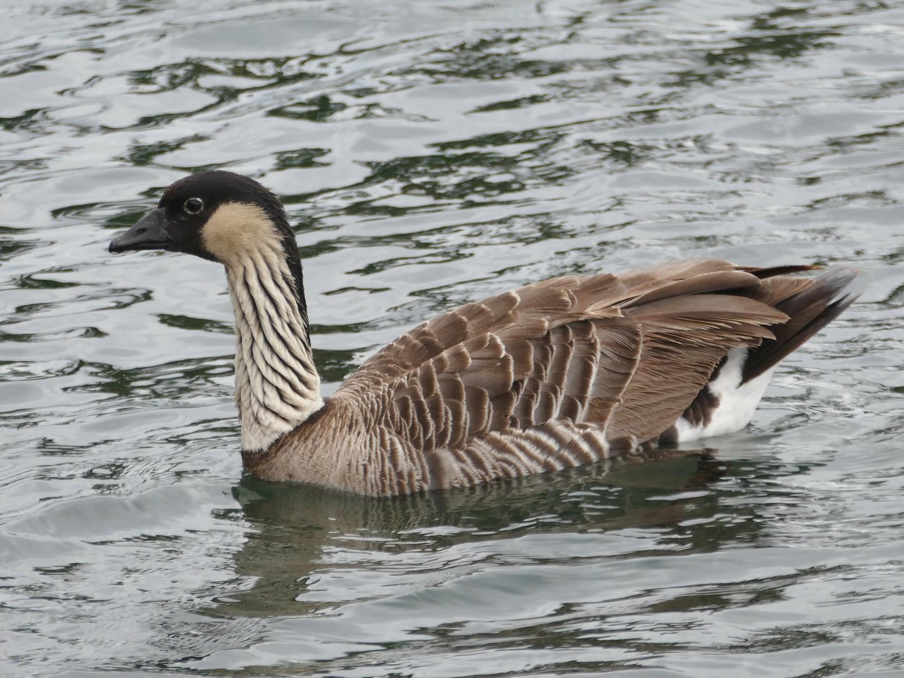Hawaiian Goose - Lorrie Anderson