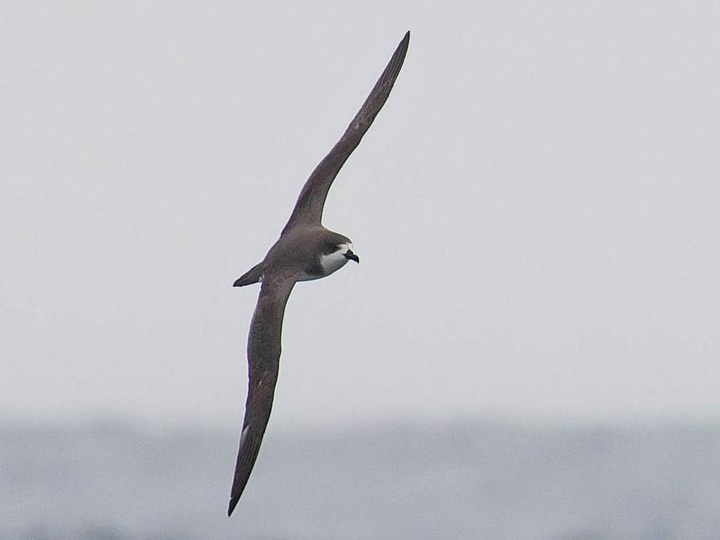 Hawaiian Petrel - Ken Chamberlain