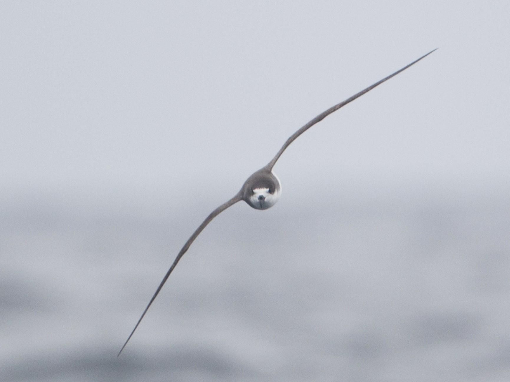 Hawaiian Petrel - Brian Sullivan