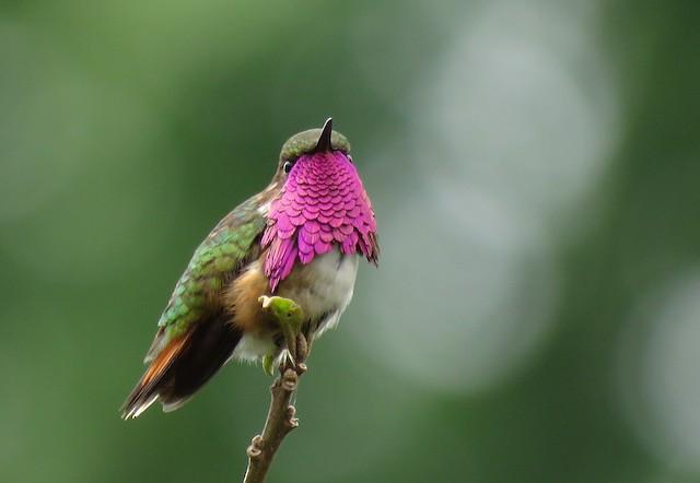Wine-throated Hummingbird