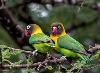 - Yellow-collared Lovebird