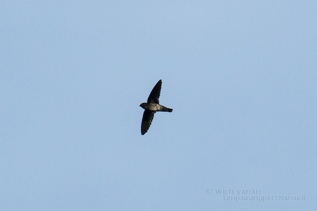 Plume-toed Swiftlet