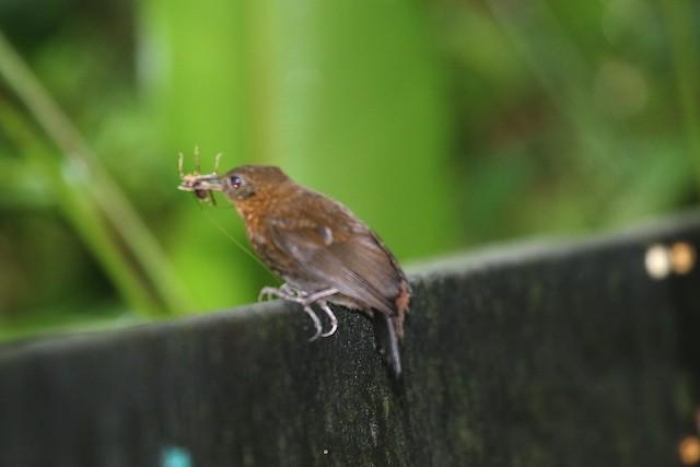 Tawny-throated Leaftosser
