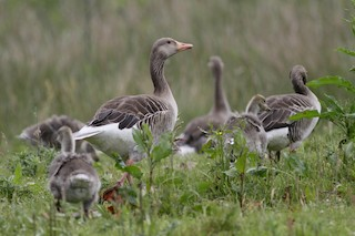 Graylag Goose (European), ML97182741
