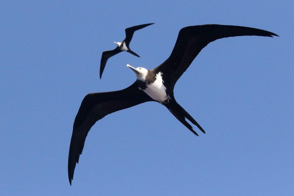 Ascension Frigatebird - Noah Strycker