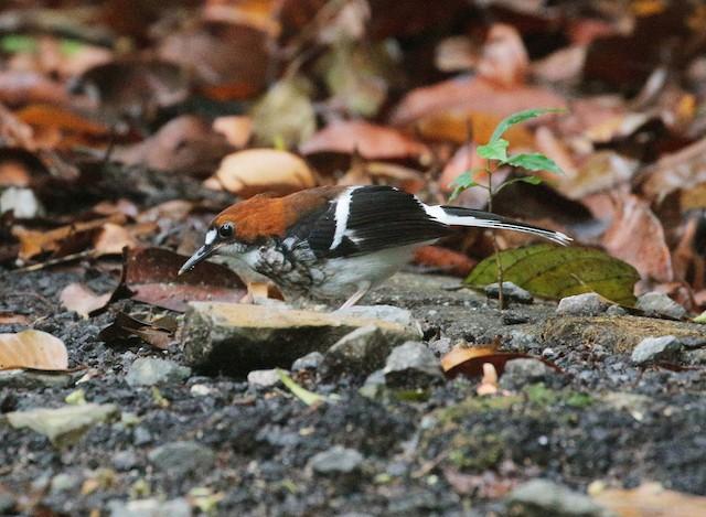 Chestnut-naped Forktail
