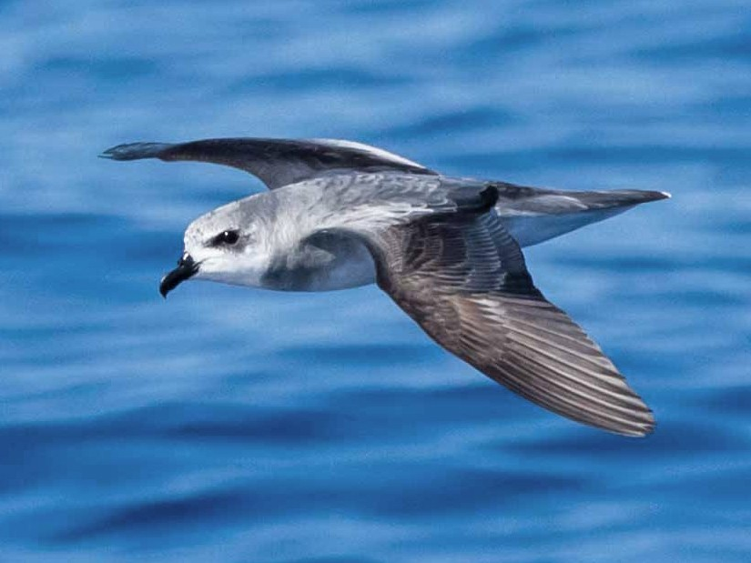 Black-winged Petrel - Brad Argue