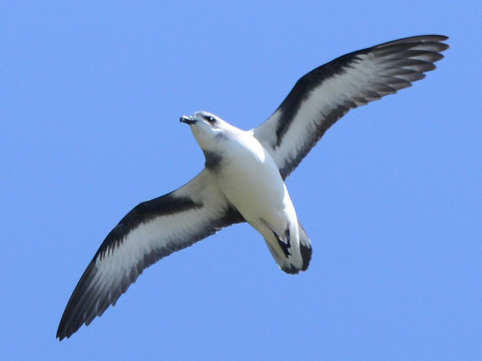 Black-winged Petrel - David King