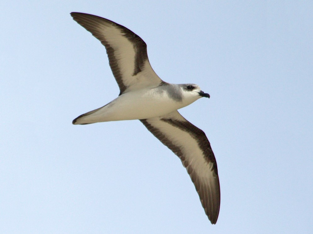 Black-winged Petrel - Mat Gilfedder