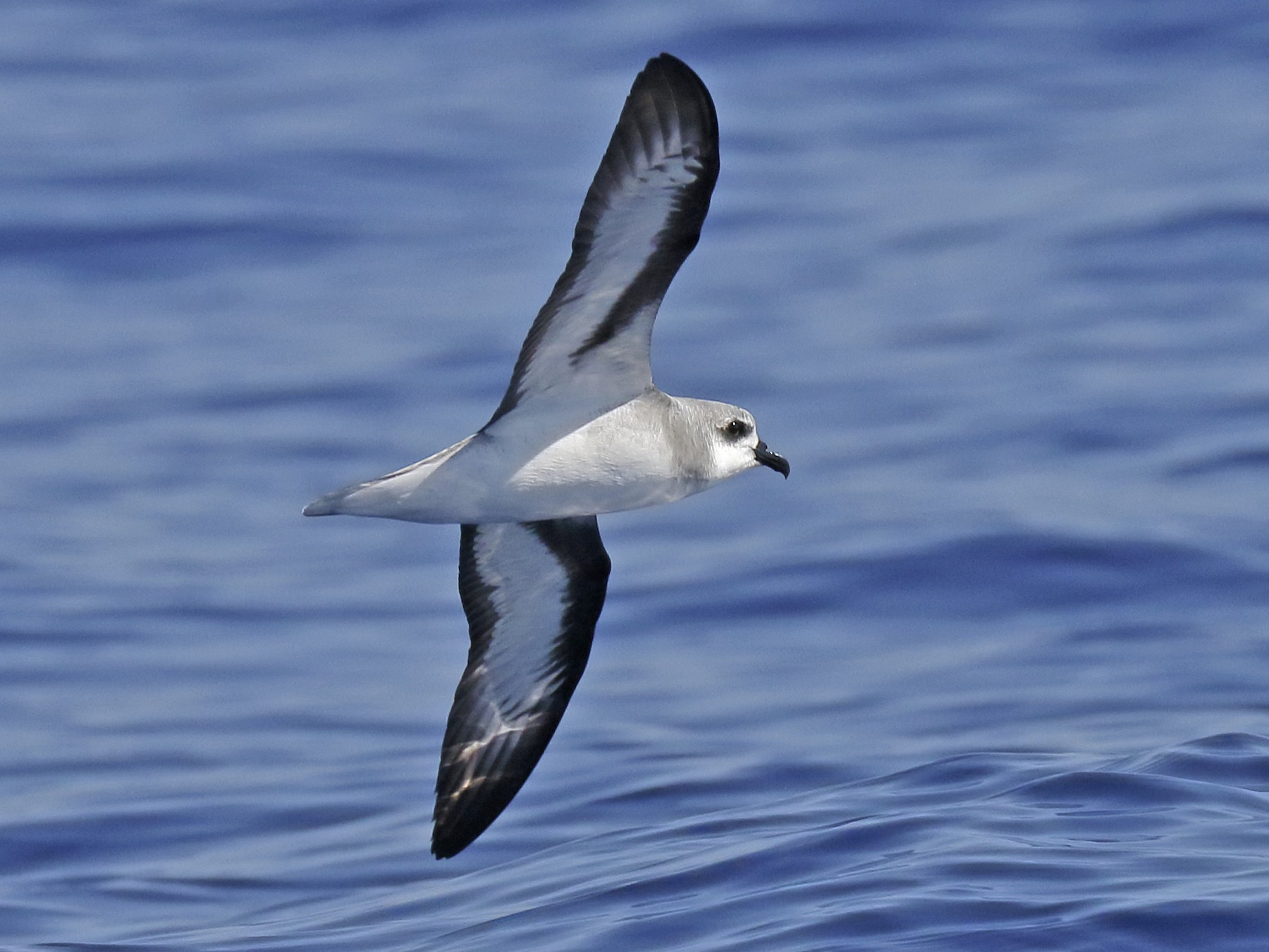 Black-winged Petrel - Sharif Uddin