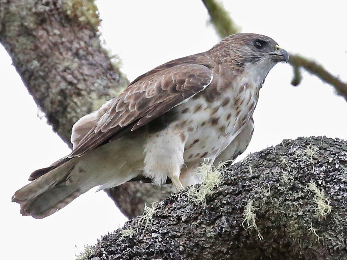 Hawaiian Hawk - Laura Keene
