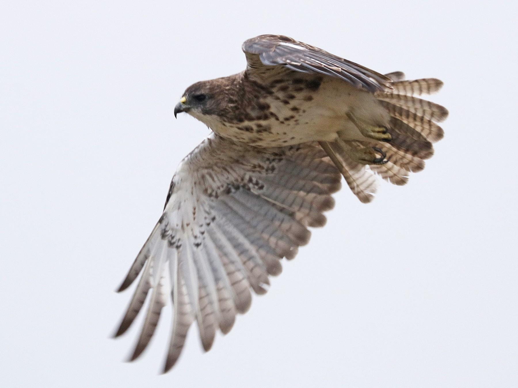 Hawaiian Hawk - ALAN SCHMIERER