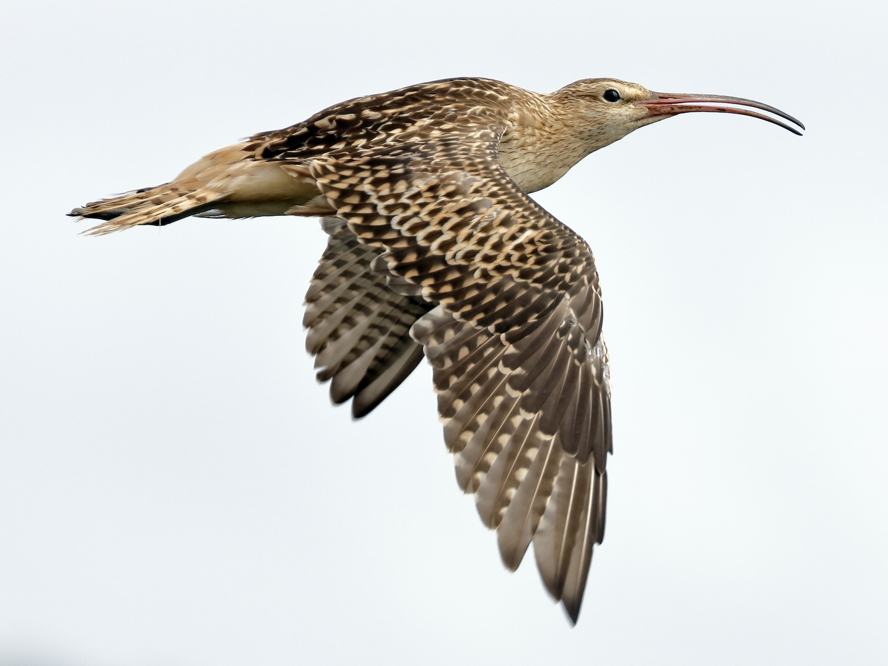 Bristle-thighed Curlew - Sharif Uddin