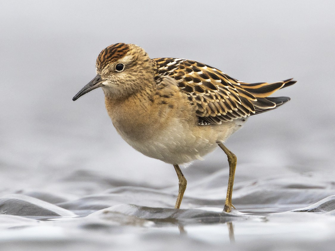 Sharp-tailed Sandpiper - Zak Pohlen