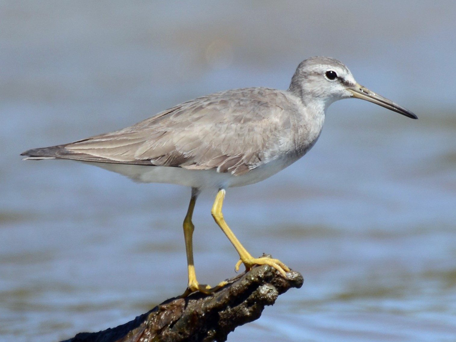 Gray-tailed Tattler - Stephen Haase