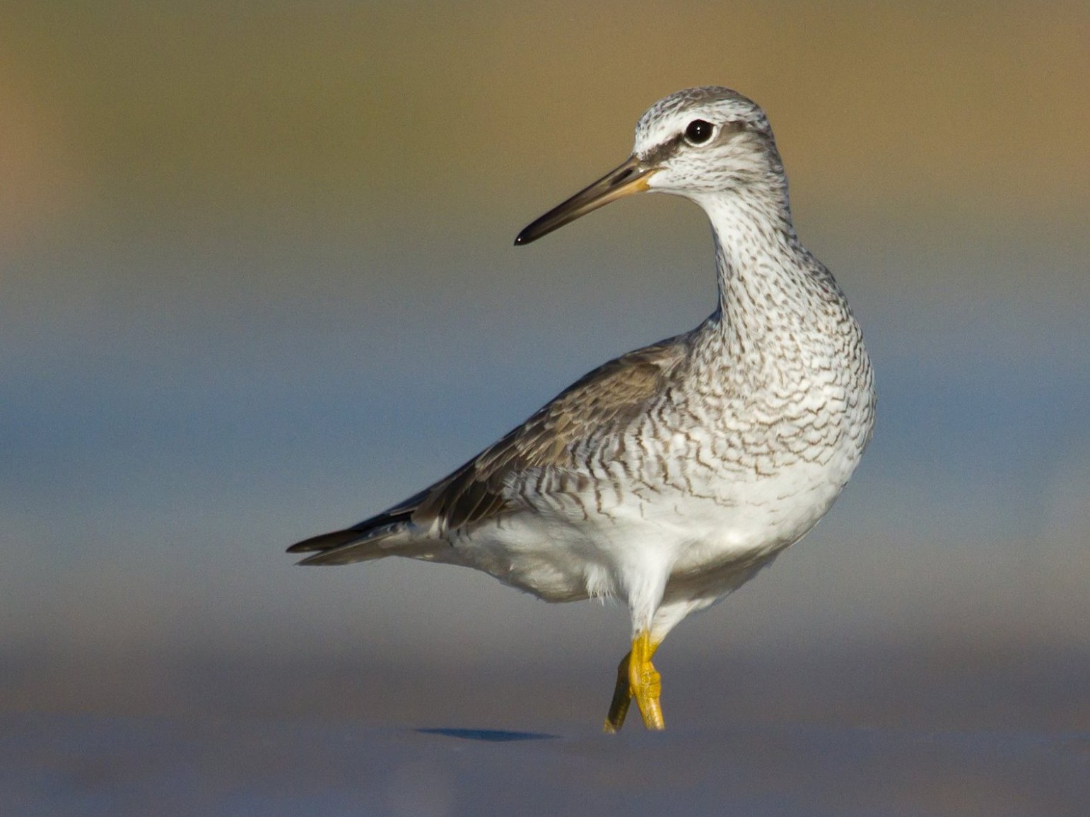 Gray-tailed Tattler - Nigel Jackett