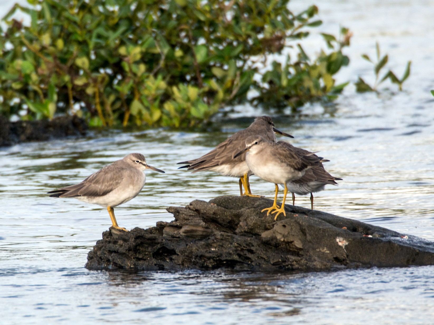 Gray-tailed Tattler - Forest Jarvis