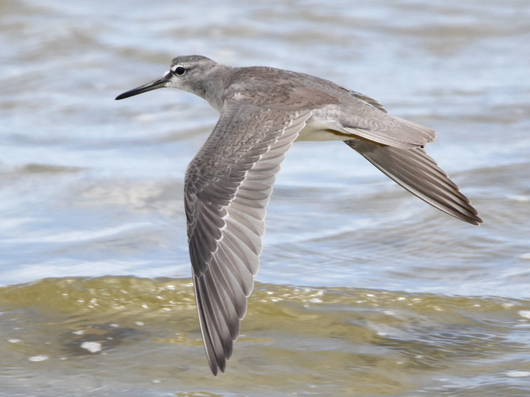 Gray-tailed Tattler - Geoffrey Groom