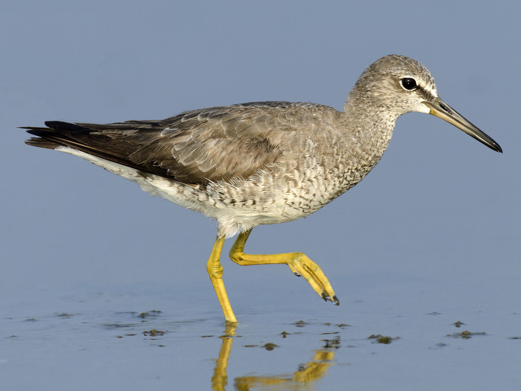 Gray-tailed Tattler - Arun Prasad