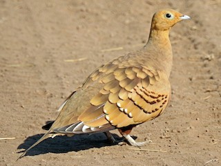 - Chestnut-bellied Sandgrouse