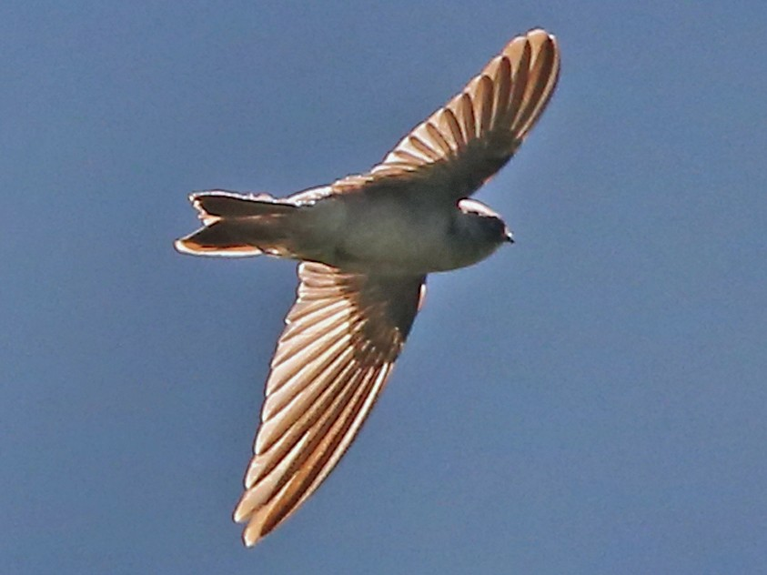 Mariana Swiftlet - Michael Walther