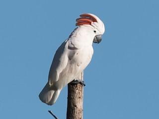 - Salmon-crested Cockatoo