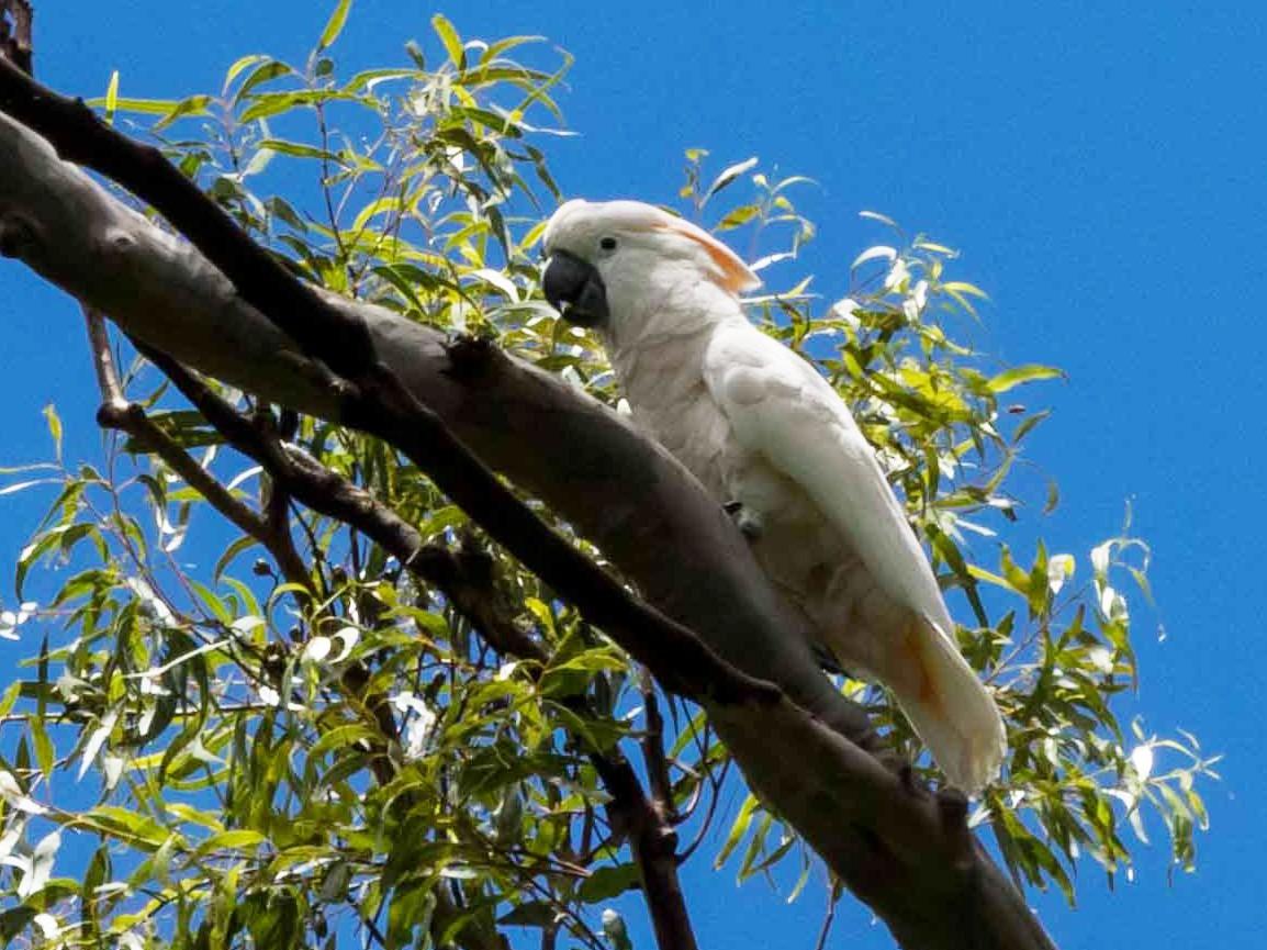 Salmon-crested Cockatoo - Brad Argue