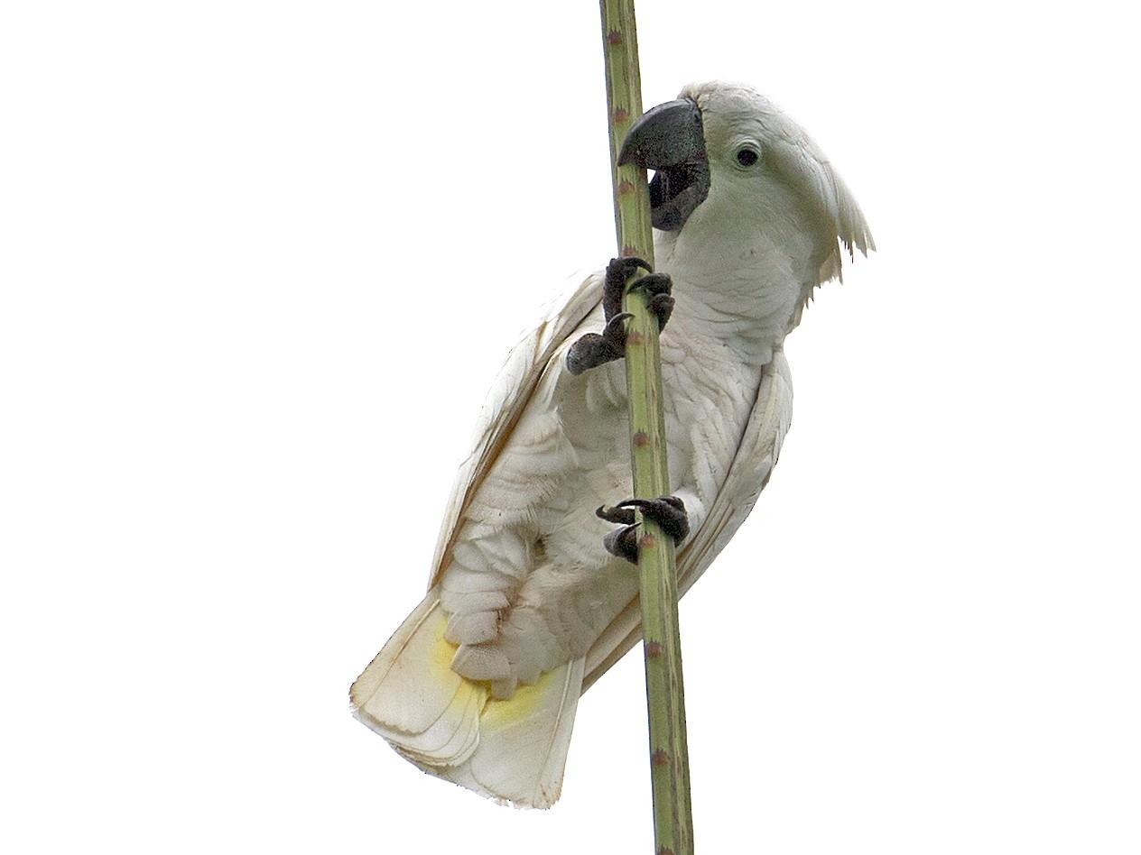 White Cockatoo - Sam Woods