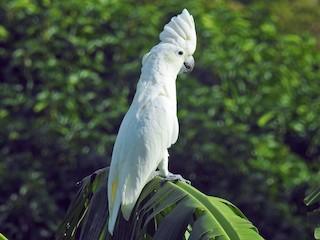 - White Cockatoo