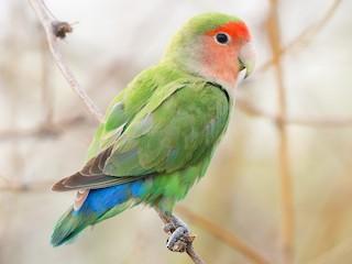 - Rosy-faced Lovebird