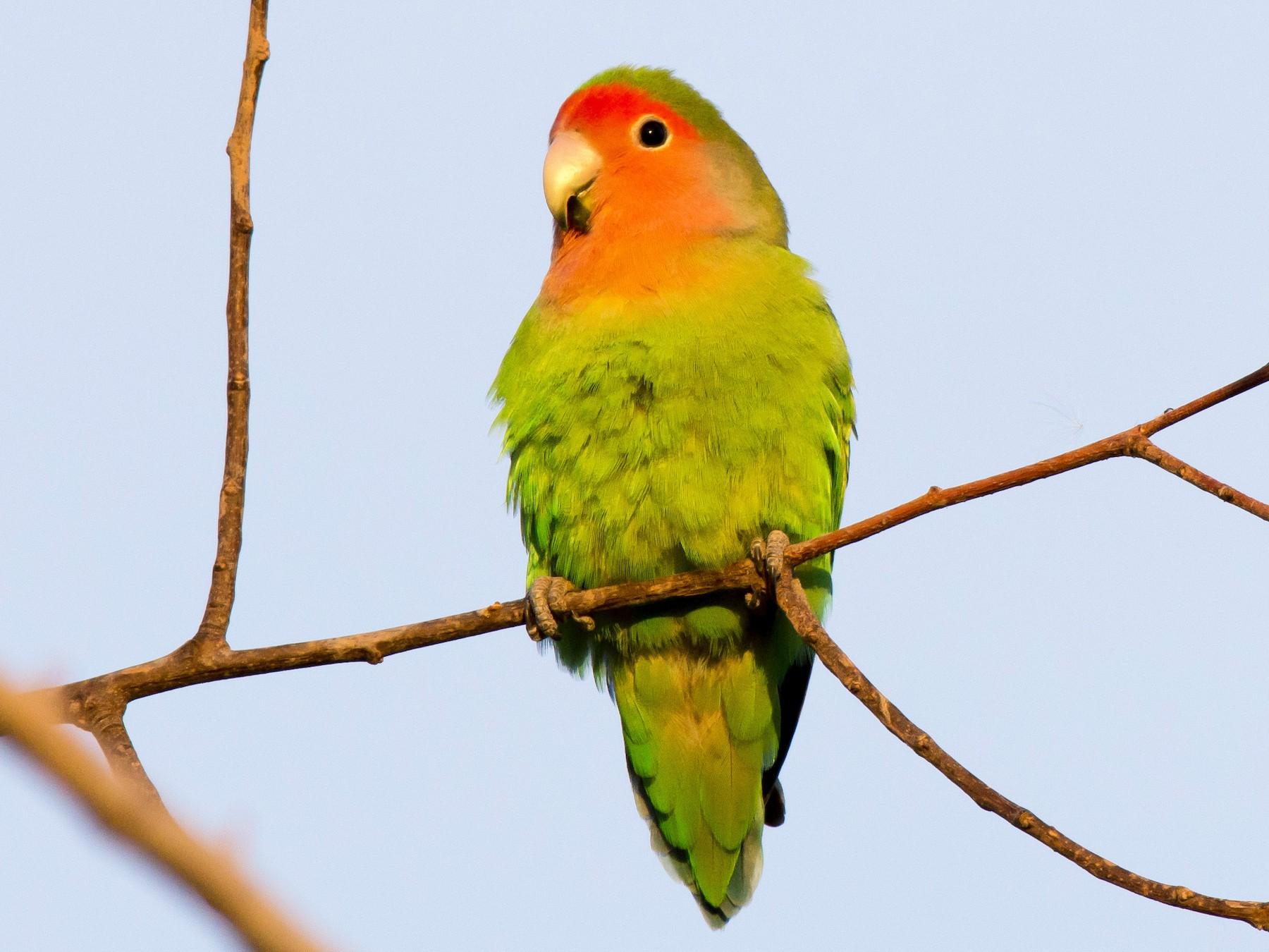 Rosy-faced Lovebird - Gordon Karre