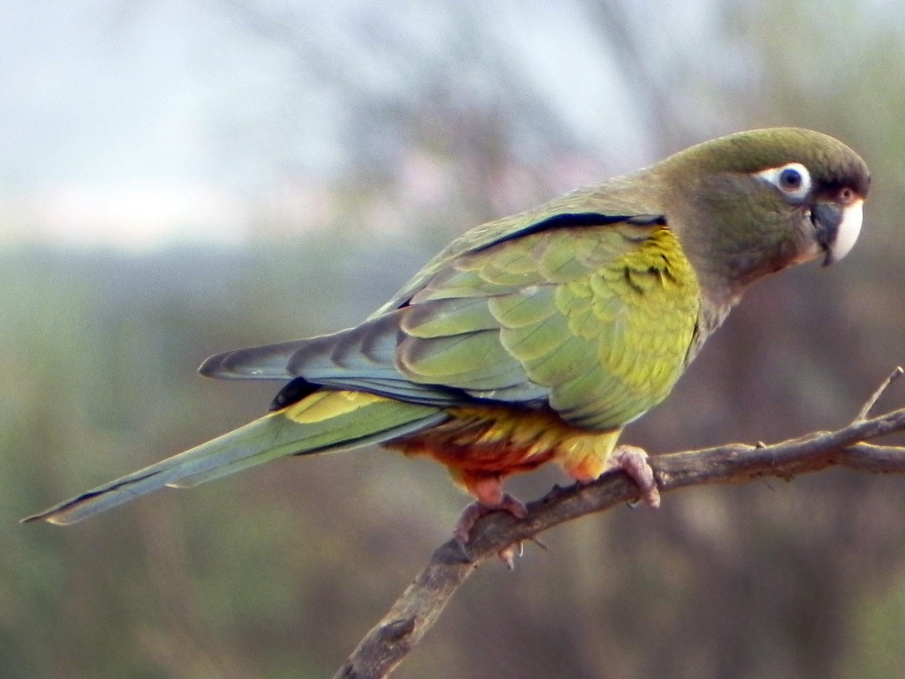 Burrowing Parakeet - Enrique Chiurla