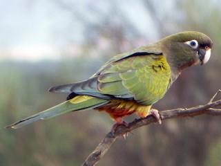 - Burrowing Parakeet