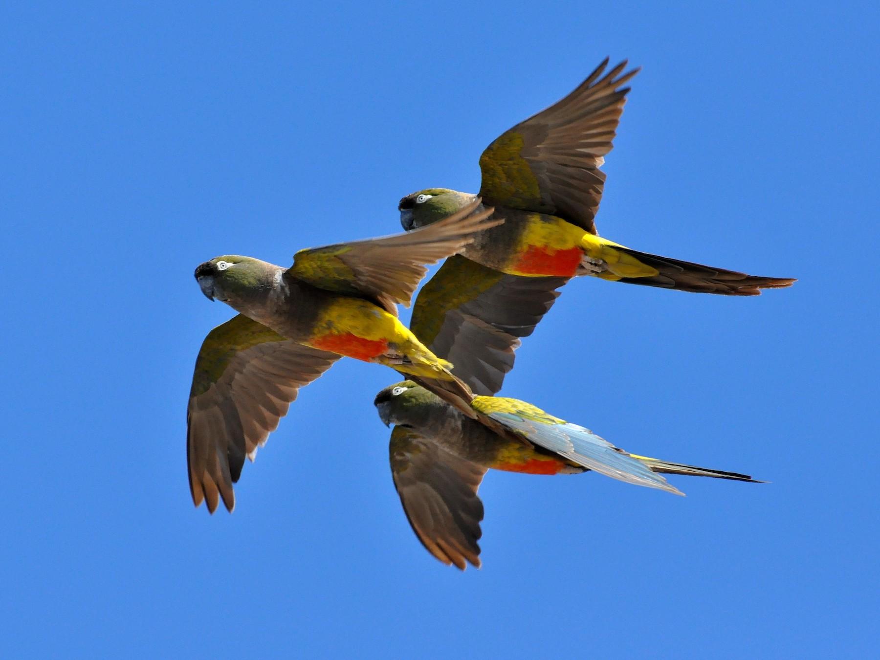 Burrowing Parakeet - Fermin Zorrilla